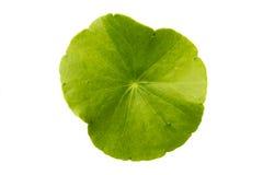 Pennywort asiatique vert sur le fond blanc Photographie stock