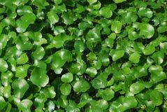 Pennywort-Centella Asiatica για το έγγραφο τοίχων στοκ εικόνα