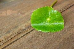 Pennywort; centella; asiatica blad in aard Royalty-vrije Stock Afbeelding