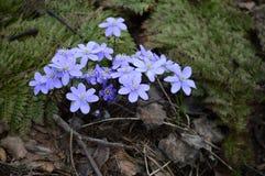 Pennywort chamou igualmente a anêmona azul fotografia de stock