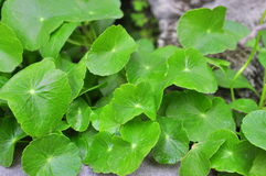 Pennywort in the garden Stock Photography