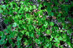 Pennywort. Group of Shield Pennywort in Forest Stock Photography