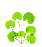 Pennywort Herb Royalty Free Stock Photos