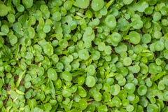 水Pennywort (Hydrocotyle umbellata L ) 绿色植物backgroun 免版税库存照片