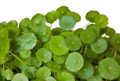 Pennywort leaf isolated on white. Royalty Free Stock Photo