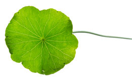 Pennywort Royalty Free Stock Images