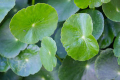 Pennywort plant, Centella asiatica leaf Royalty Free Stock Photography