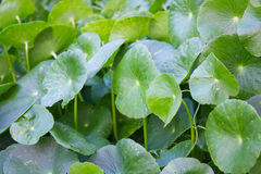 Pennywort plant, Centella asiatica leaf Royalty Free Stock Photo