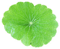 Pennywort Whole Royalty Free Stock Photos