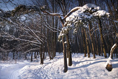 Penombra di inverno in foresta Fotografia Stock