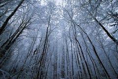 Penombra negli alberi di Snowy della foresta di inverno da sotto Fotografia Stock Libera da Diritti