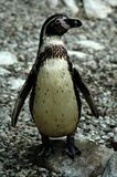 Penquin Royalty Free Stock Photo