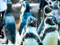 Penquin avec l'exposition haute étroite de position d'amis dans la vue de côté dans le zoo Thaïlande Photo stock