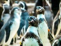 Penquin avec l'exposition haute étroite de position d'amis dans la vue de côté dans le zoo Thaïlande Images libres de droits