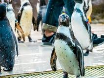 Penquin avec l'exposition haute étroite de position d'amis dans la vue de côté dans le zoo Thaïlande Images stock