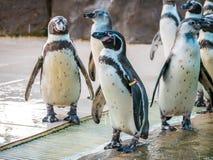 Penquin avec l'exposition haute étroite de position d'amis dans la vue de côté dans le zoo Thaïlande Photos libres de droits