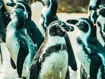 Penquin avec l'exposition haute étroite de position d'amis dans la vue de côté dans le zoo Thaïlande Photographie stock