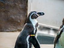 Penquin avec l'exposition haute étroite de position d'amis dans la vue de côté dans le zoo Thaïlande Image libre de droits