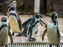 Penquin avec l'exposition haute étroite de position d'amis dans la vue de côté dans le zoo Thaïlande Photo libre de droits