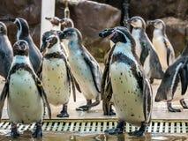 Penquin avec l'exposition haute étroite de position d'amis dans la vue de côté dans le zoo Thaïlande Photographie stock libre de droits
