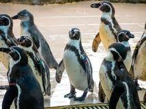 Penquin avec l'exposition haute étroite de position d'amis dans la vue de côté dans le zoo Thaïlande Image stock
