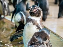 Penquin avec l'exposition haute étroite de position d'amis dans la vue de côté dans le zoo Thaïlande Photos stock