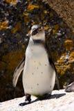 penquin för africa södra afrikansk strandstenblock Arkivfoton