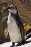 penquin för africa södra afrikansk strandstenblock Royaltyfri Foto
