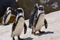 penquin för africa södra afrikansk strandstenblock Royaltyfria Bilder