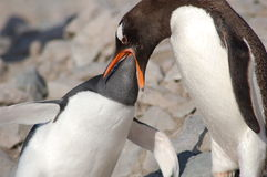 Penquin feeding young Stock Image