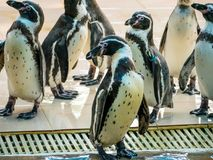 Penquin with friends close up standing show in side view in zoo thailand. stock photos