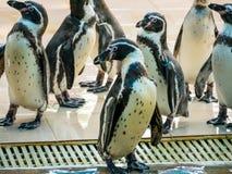 Penquin met vrienden sluit het opstaan toont in zijaanzicht in dierentuin Thailand stock foto's