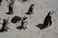 Penquins przy Simonstown, Południowa Afryka - 1 zdjęcie royalty free