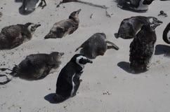 Penquins przy Simonstown, Południowa Afryka - 2 obraz royalty free