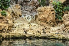 Penquins przy zoo w Loro parku, Puerto De La Cruz, Tenerife obrazy stock