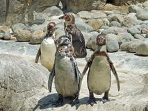 Penquins on rocks. A group of four penquins on rock walking towards camera Royalty Free Stock Photos