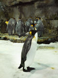 Penquins, Sea Life Aquarium, Auckland, New Zealand. King penguins in Kelly Tarlton´s  Sea Life Aquarium. Auckland. New Zealand Stock Photos
