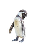 Penquins self cleaning on isolated background. Royalty Free Stock Photography