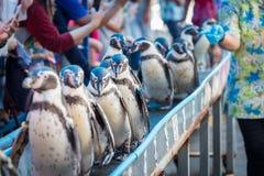 Penquins ståtar i zoo Arkivfoton