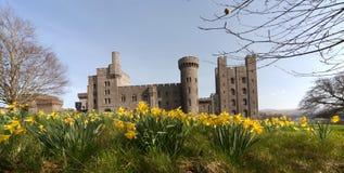 Penryhn Castle daffodils Royalty Free Stock Photo