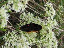 Pensão bonita da borboleta na flor nativa Fotografia de Stock Royalty Free