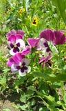 Penséblomma - Eutopia trädgårdradband Arkivbild