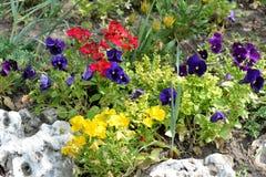 Pensée colorée de fleurs sur un fond d'herbe verte Fond naturel de pensée de fleurs Image stock