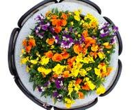 Pensée de lit de fleur parterre d'hybride d'alto Photo stock