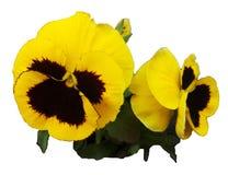 Pensée de lit de fleur parterre d'hybride d'alto Images libres de droits