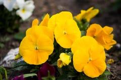 Pensée jaune de jardin dans un parterre photographie stock libre de droits