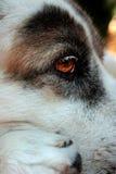 Pensée rouge triste d'oeil de chien Photo libre de droits