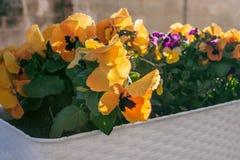 Pensée tricolore de bel alto décoratif de fleurs photo stock