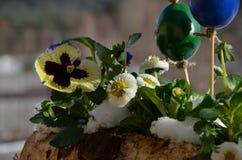 Penséen och tusenskönan i snöig easter boxas på balkong Arkivbilder