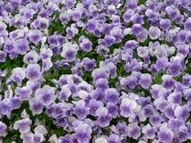 Pensées bleues Photo stock